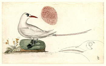 10william-wade-ellis-red-tailed-tropic-bird-1777